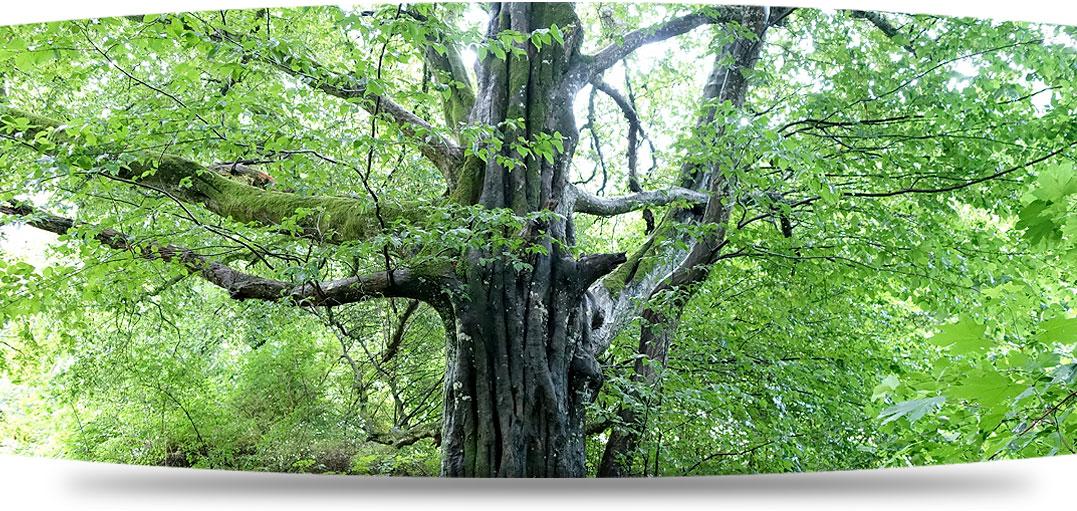 Baumbild zu Waldtherapie Galerie